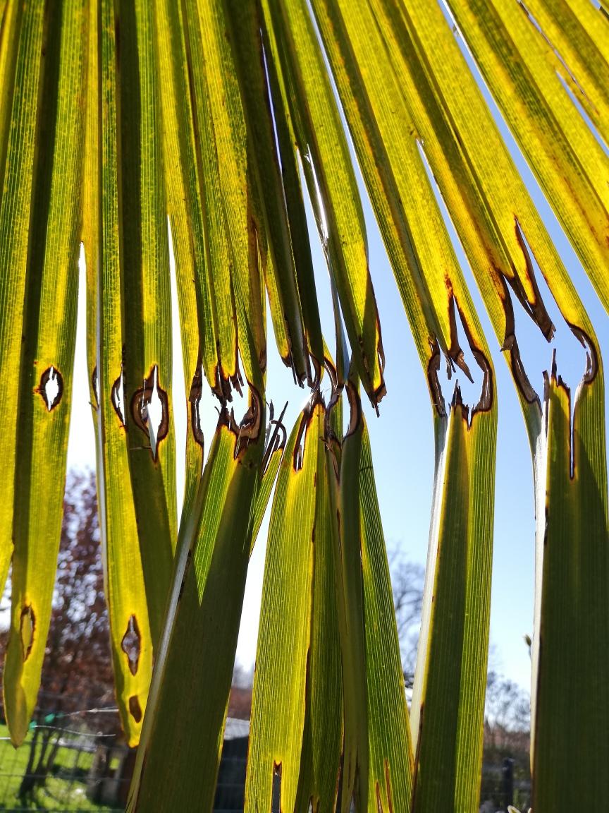 Feuille de palmier dévorée par une larve