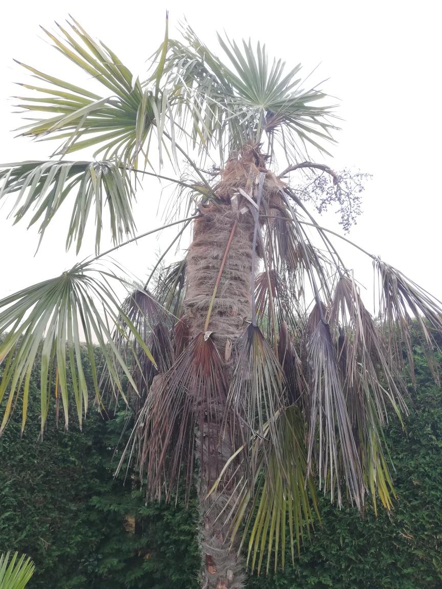 Etat d'un palmier parasité par des larves de papillon